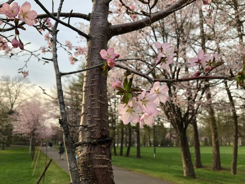 帯広の桜 接写